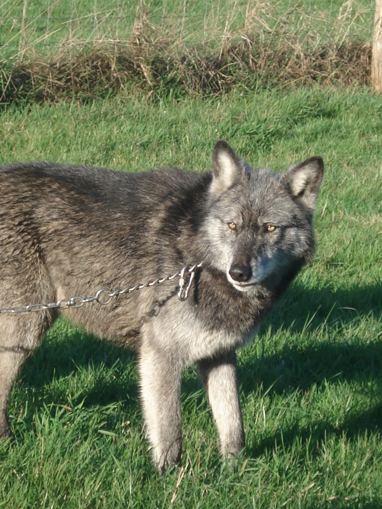 Wolves 052
