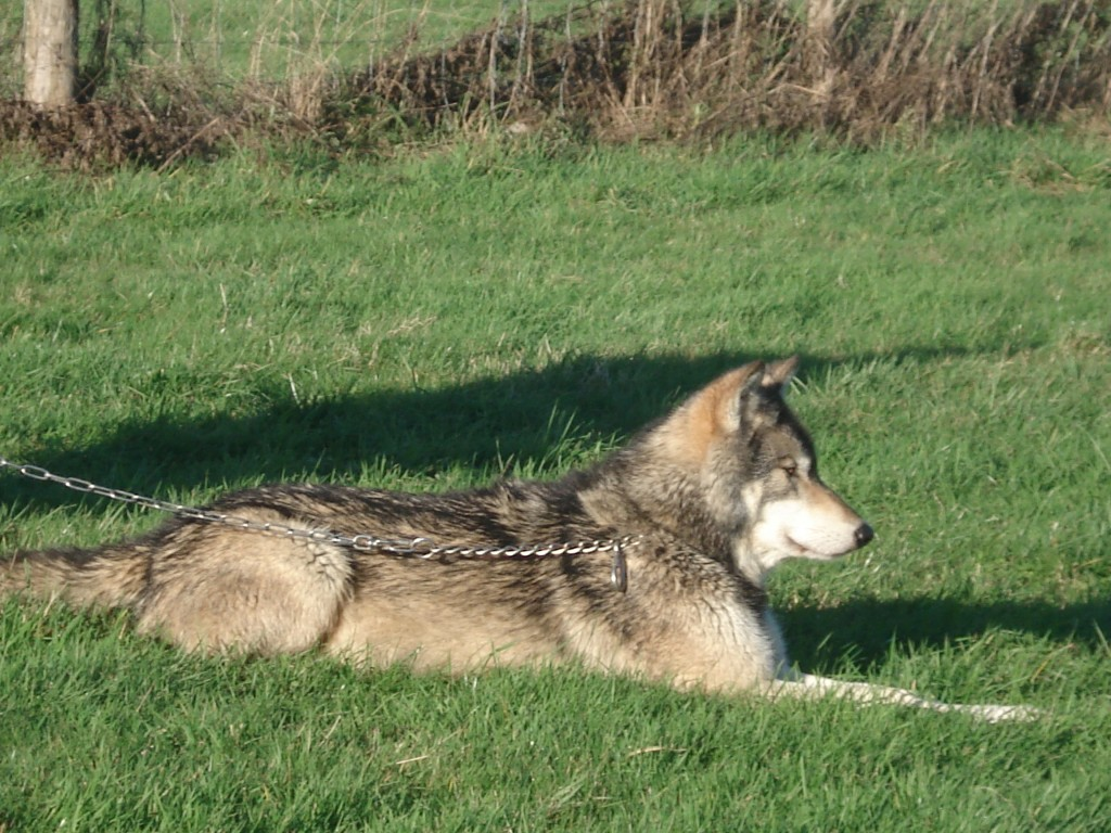 Wolves 054