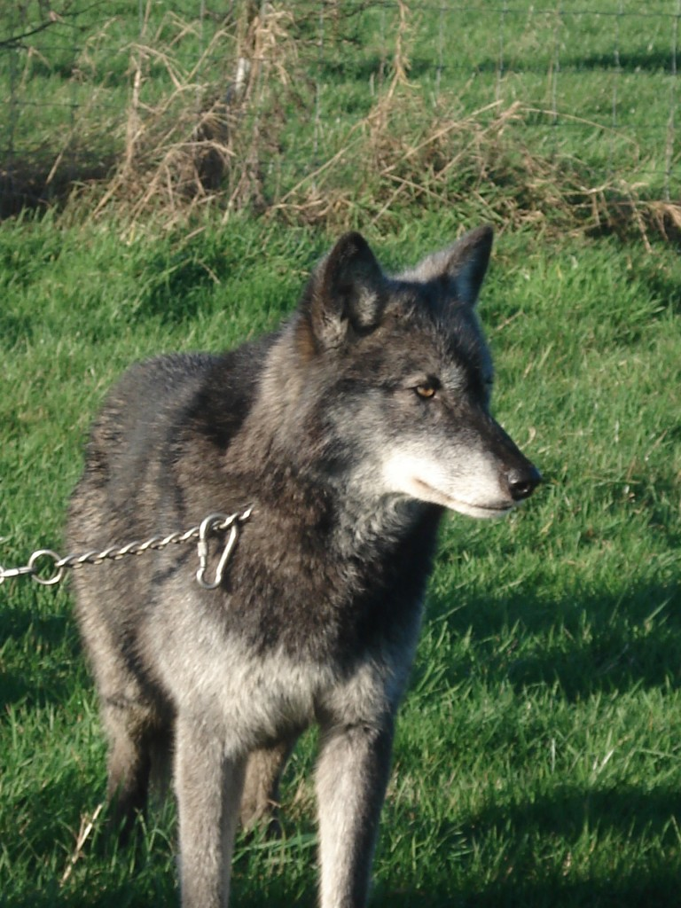 Wolves 057
