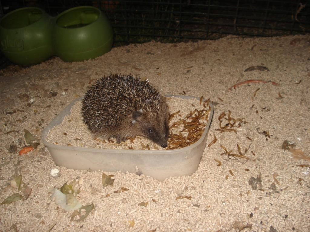hedgehogs 007
