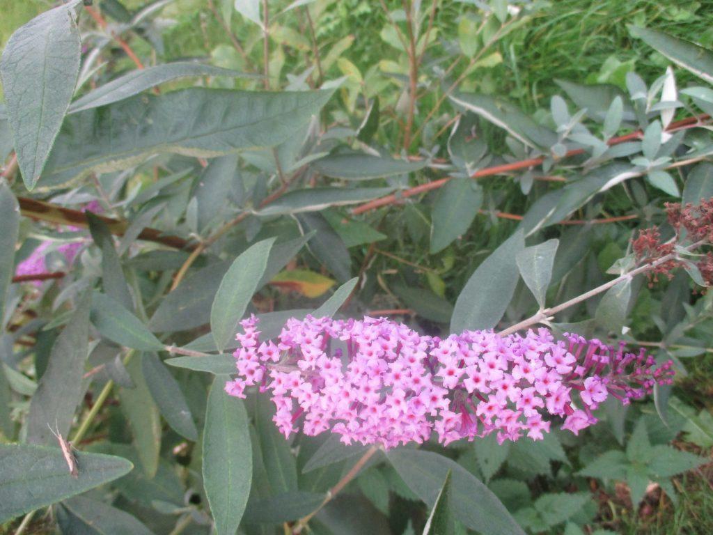 buddleia