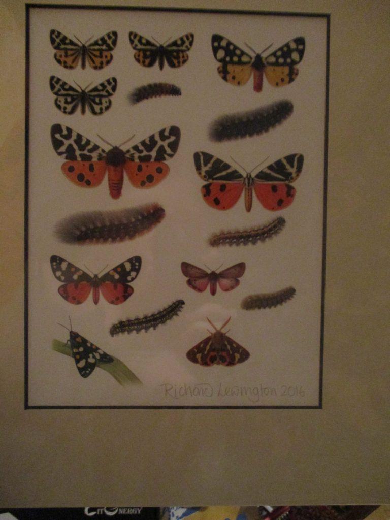 tiger moth illustration